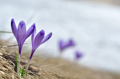 Sky flower, crocus, grass and snow Royalty Free Stock Photos
