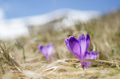 Sky flower, crocus, grass and snow in mountains Stock Images
