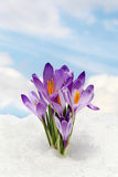 Sky and flower, crocus and snow Royalty Free Stock Photography