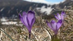 Sky flower, crocus on the wind stock footage