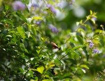 Sky flower, Golden dew drop stock photos