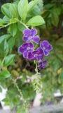 Sky flower, Golden dew drop, Pegeon burry, Duranta. Purple flower in the garden Stock Image
