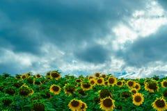 Sky, Flower, Sunflower, Field stock images