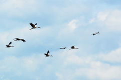 Sky Flying bill birds Royalty Free Stock Photo