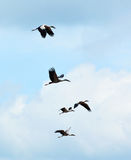 Sky Flying bill birds Stock Images