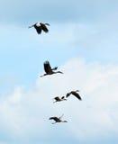 Sky Flying bill birds stock images