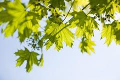 Sky and foliage. Blue sky through green foliage Stock Image