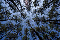 Sky in forest Royalty Free Stock Photo