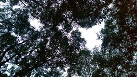 Sky through forest trees. Evening sky looking through tree canopy Stock Photos