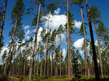 Sky from forest. View to cloudy sky from forest through pine trees Stock Images