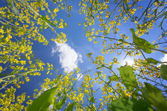 Sky framed by flowering oilseed rape Royalty Free Stock Photo