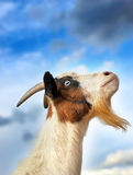 Sky Goat royalty free stock images