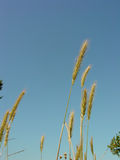 Sky Grass 1. Tall prairie grass against a blue sky Royalty Free Stock Image