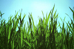 Sky grass Royalty Free Stock Photo
