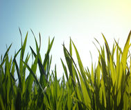 Sky grass Royalty Free Stock Photography