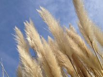 Sky, Grass Family, Close Up, Phragmites stock photography