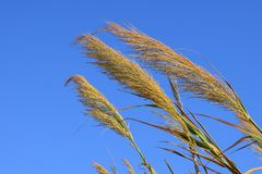 Sky, Grass Family, Grass, Rye royalty free stock photography