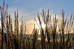 Sky, Grass, Grass Family, Phragmites royalty free stock photography