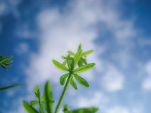 Into the sky. A herb growing up to the sky Royalty Free Stock Photo