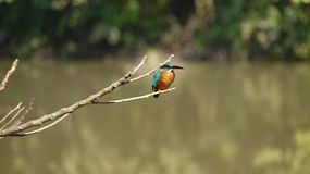 Sky kingfisher on pond Stock Photos