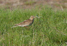 Sky lark Stock Photos