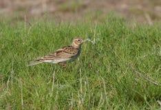 Sky lark. (alauda arvensis) walking on green grass Stock Photos