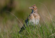 Sky Lark Stock Photo