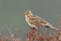 Sky lark (Alauda arvensis) Royalty Free Stock Photography
