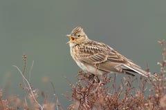 Sky lark (Alauda arvensis). Singing on the heather Royalty Free Stock Photography