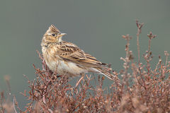 Sky lark (Alauda arvensis) Stock Photo