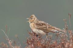 Sky lark (Alauda arvensis). Singing on the heather Stock Photography