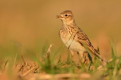 Sky Lark (Alauda arvensis) Royalty Free Stock Photos