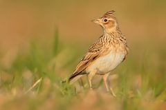 Sky Lark Alauda arvensis sitting on the earth enlightened by evening sun. Lark on the field. Brown bird sitting on the brown loa. M Royalty Free Stock Photo