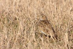 Sky lark on dry grass Royalty Free Stock Photos