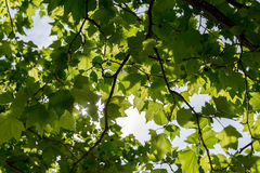 Sky through leafs Stock Images