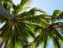Sky is the Limit. Picture looking UP through palm trees stock images