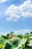 sky and the lotus leaf Royalty Free Stock Photo