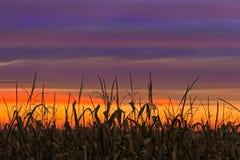 Sky Maize Stock Photos