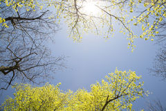 Sky and Maple Trees Stock Photos