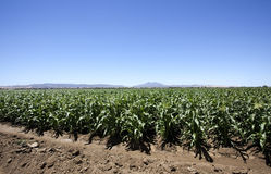 Sky Mountains and Corn Field. Brentwood, California cornfield under blue sky with Mt. Diablo in the background Stock Photography