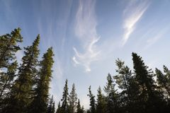 Nordland conifers with blue skies Stock Photo