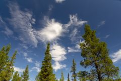 Spruces and pines in Swedish Lapland. The sky and Nordland spruces and pines in the Swedish Lapland, north of the Arctic Circle royalty free stock photos