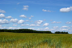 Sky Over Field. Blue sky with small fluffy clouds over Finnish barley fields Royalty Free Stock Image