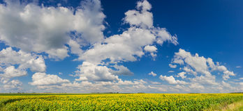 Sky over sunflowers Royalty Free Stock Image