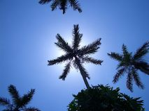 Sky Palms. Royal Palm Reserve, Negril, west Jamaica, Caribbean stock photography