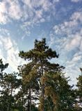 Sky with clouds and pine. Pine and sky with clouds Stock Photography