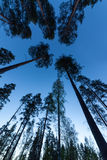 Sky in Pine Forest Royalty Free Stock Photography