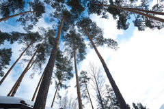 Sky in pine forest. Looking up in pine forest Stock Photo