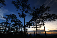 Sky in pine forest Stock Photo