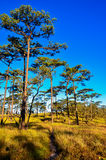 Sky and pine forests. Royalty Free Stock Image
